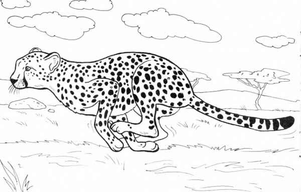 Cheetah Run Catch His Prey Coloring Page NetArt