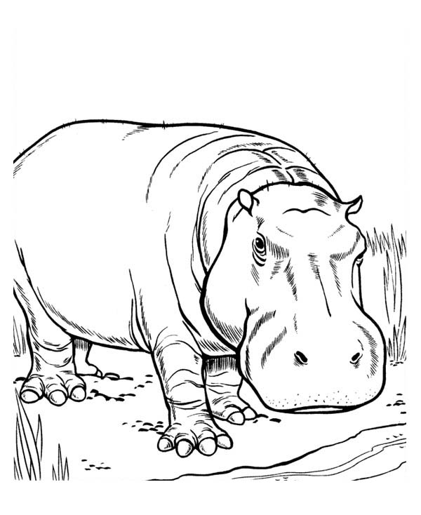 Hippo Territory Hippo Coloring Page
