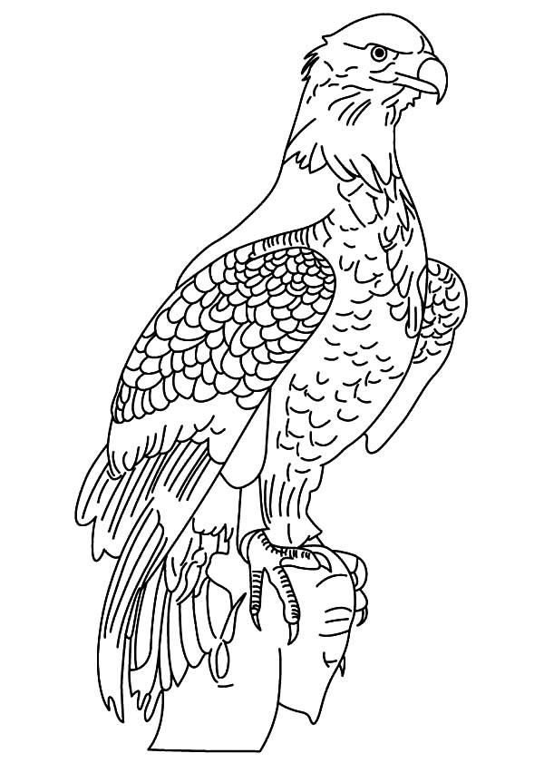 Male Bald Eagle Coloring Page - NetArt