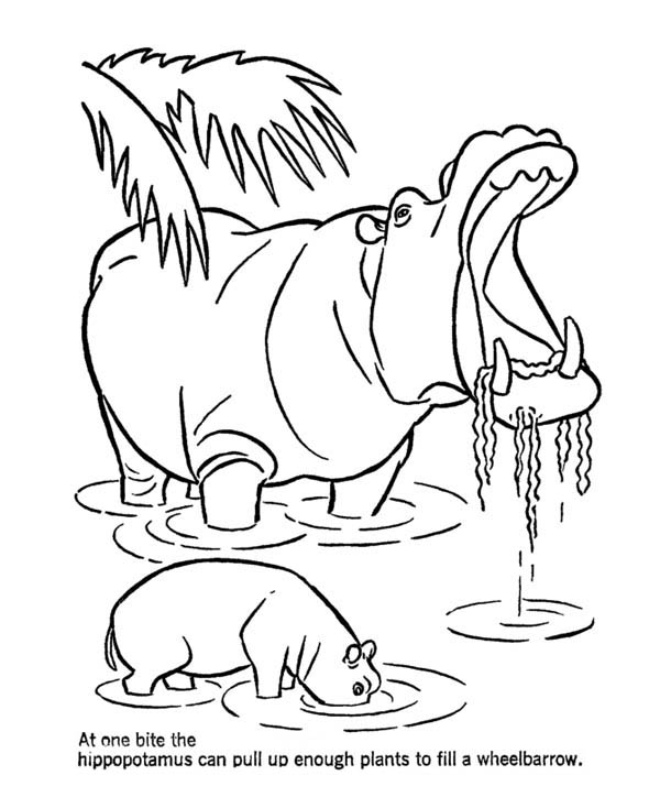 79 Coloring Page Hippo