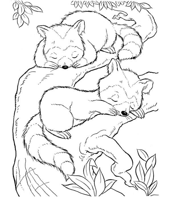 two baby raccoon coloring page - Racoon Coloring Page