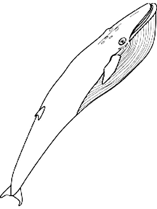 coloring pages blue whale - awesome pictur of blue whale coloring page netart