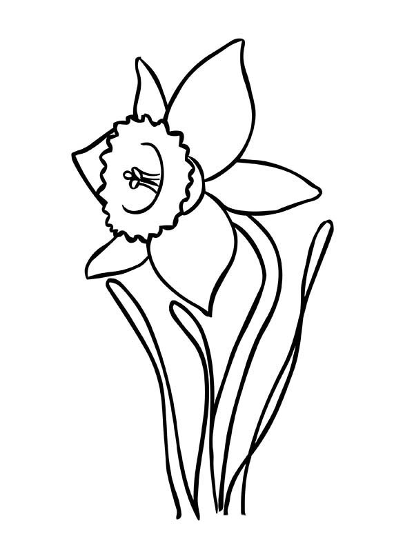 daffodil coloring pages - blooming daffodil coloring page netart