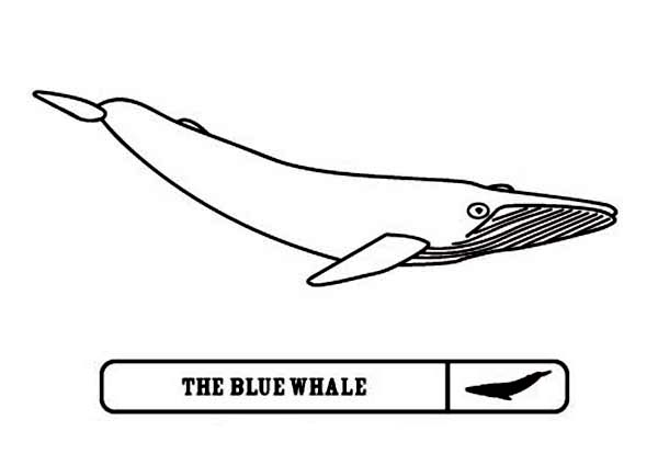 Blue Whale Picture Coloring Page