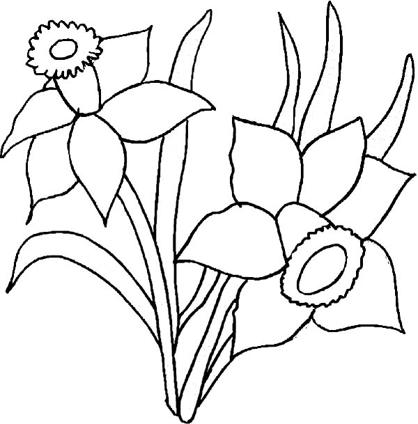 daffodil flower coloring pages on daffodil images free download