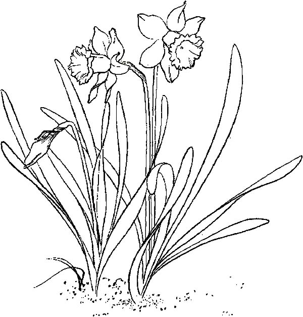 Line Drawing Daffodil : Planting daffodil coloring page netart