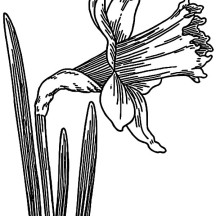 Skecth of Daffodil Coloring Page