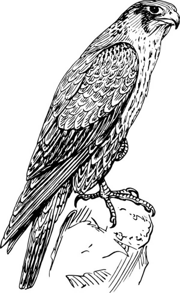Amazing Animal Peregrine Falcon Bird Coloring Pages