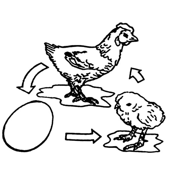 Chicken Lay Egg and Then Hatch Coloring Pages