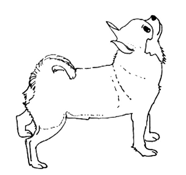 Chihuahua Dog Looking Upside Coloring Pages