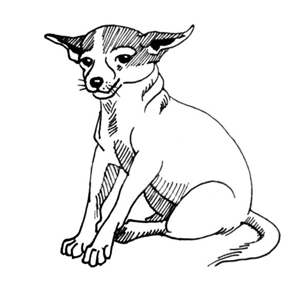 Chihuahua Dog Sitting Calmly Coloring Pages