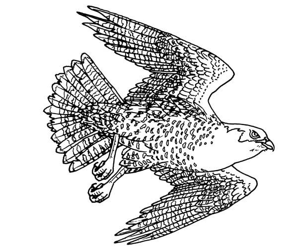 Falcon Bird Chasing Prey Coloring Pages