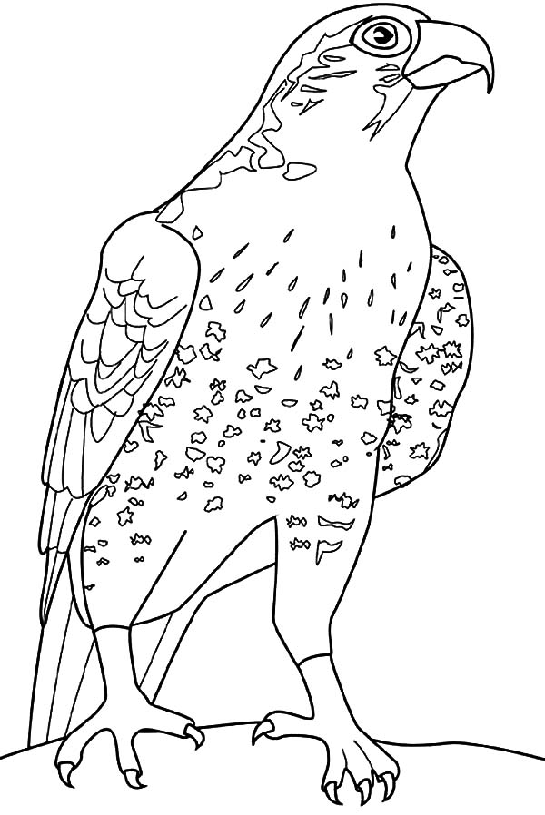 Falcon Bird Coloring Pages for Kids