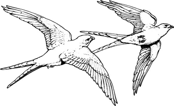 Falcon Bird Couple Mating Coloring Pages