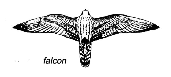 Falcon Bird Spread Wings Coloring Pages