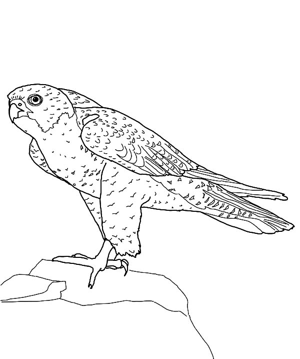 Peregrine Falcon Bird Standing on Top of Hill Coloring Pages
