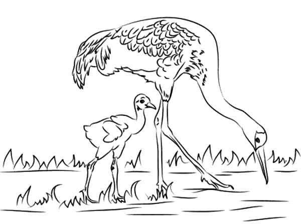 Sandhill Crane Brid Looking for Fish with Her Baby Coloring Pages