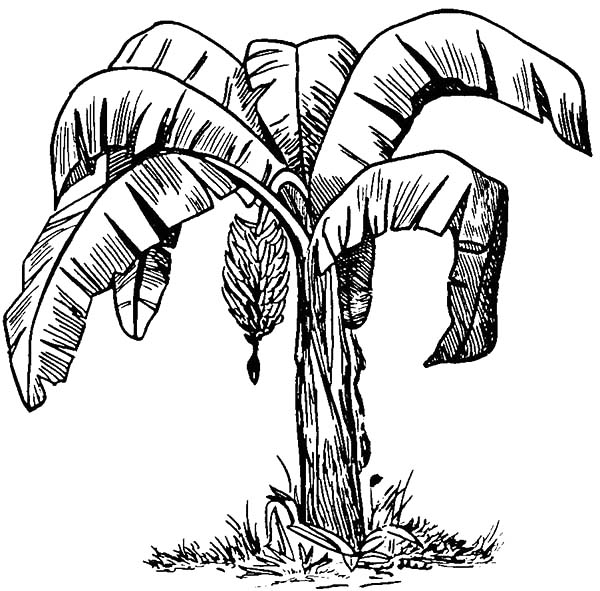 Sketch of Banana Bunch Coloring Pages