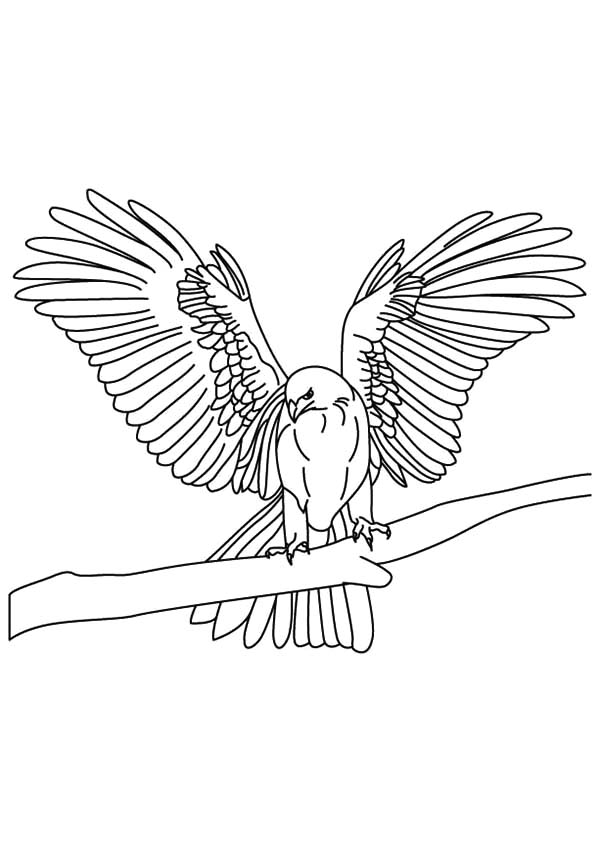 Thin Tapered Wings Falcon Bird Coloring Pages