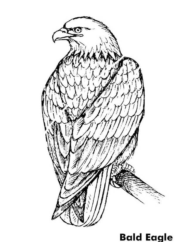 Beautiful Bald Eagle Coloring Page Netart